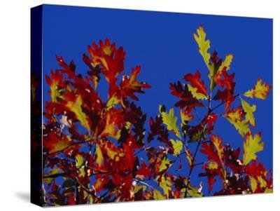 Oak Leaves in Fall Colors Against a Bright Blue Sky-Raymond Gehman-Stretched Canvas Print