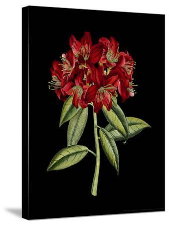 Crimson Flowers on Black II-Vision Studio-Stretched Canvas Print
