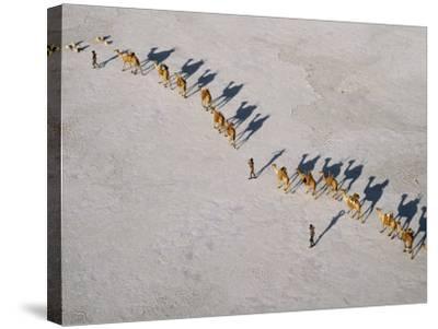 Afar Camel Caravan Crosses the Salt Flats of Lake Assal, Djibouti, as Shadows Lengthen in the Late -Nigel Pavitt-Stretched Canvas Print