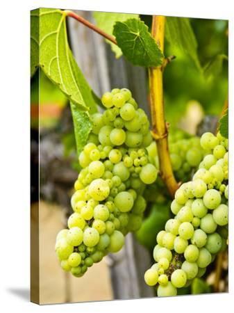 Grape Vines in Northern California Near Mendocino-Michael DeFreitas-Stretched Canvas Print