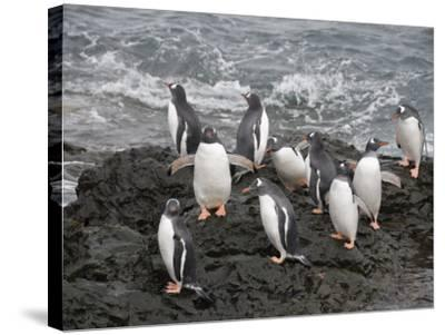 Gentoo Penguins, Hannah Point, Livingstone Island, South Shetland Islands, Polar Regions-Robert Harding-Stretched Canvas Print