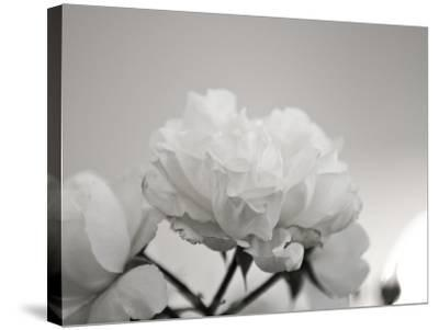 Close-Up of White Roses-Rune Johansen-Stretched Canvas Print