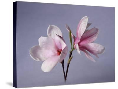 Two Japanese Magnolias, Magnolia Liliiflora-Diane Miller-Stretched Canvas Print