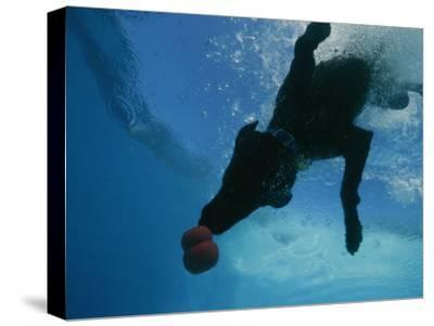 Black Lab Retrieves a Toy Underwater-Bill Curtsinger-Stretched Canvas Print