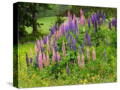 Field of Lupines in Maine-Darlyne A^ Murawski-Stretched Canvas Print