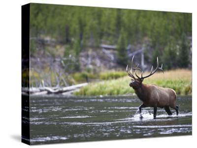Bull Elk Wades Through the Madison River in Yellowstone-Drew Rush-Stretched Canvas Print