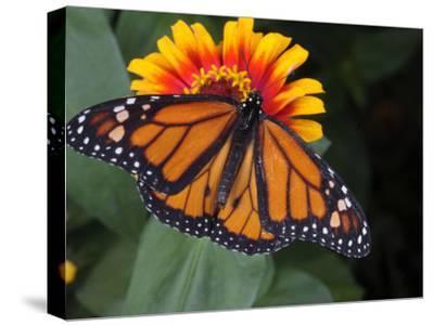 Monarch Butterfly, Danaus Plexippus, on a Flower-George Grall-Stretched Canvas Print