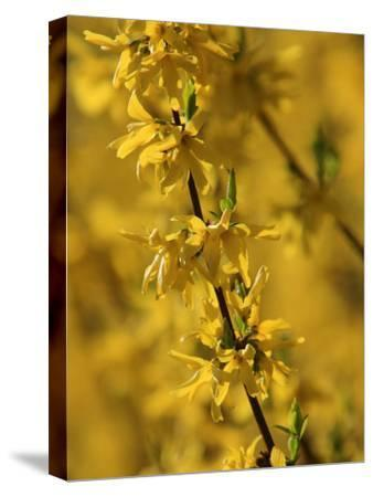 Close-up of a Forsythia Branch in Bloom-Joe Petersburger-Stretched Canvas Print