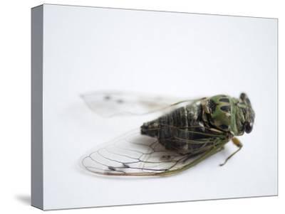 Annual Cicada or Dog-Day Cicada, Tibicen Canicularis-Joel Sartore-Stretched Canvas Print