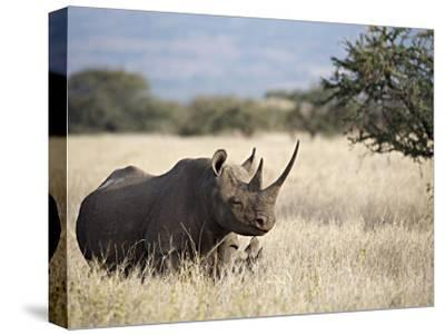 Endangered Species Black Rhino and Calf in Kenya-Mark C. Ross-Stretched Canvas Print