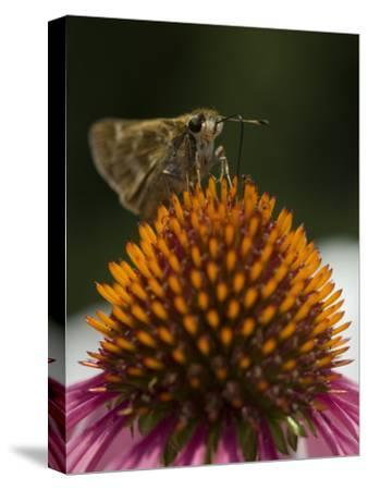 Skipper Butterfly Sipping Nectar from a Purple Coneflower-Paul Sutherland-Stretched Canvas Print