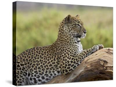 Leopard (Panthera Pardus), Samburu National Reserve, Kenya, East Africa, Africa-James Hager-Stretched Canvas Print