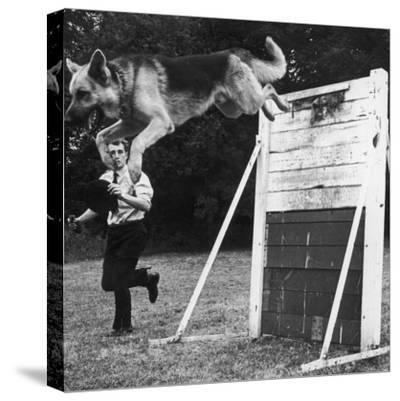 A German Shepherd Police Dog Jumping a Hurdle During a Training Session--Stretched Canvas Print