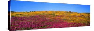 California Poppy, Owl's Clover, and Goldfields in Bloom in a Field-Jeff Foott-Stretched Canvas Print