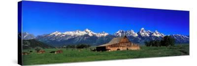 Cattle Gather Near Old Barn on Grand Teton Range in the Spring-Jeff Foott-Stretched Canvas Print