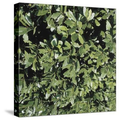 Close-Up of a Bay Laurel Tree (Laurus Nobilis)--Stretched Canvas Print
