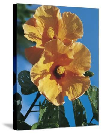 Close-Up of a Chinese Hibiscus Flower (Hibiscus Rosa-Sinensis)-C^ Dani I^ Jeske-Stretched Canvas Print