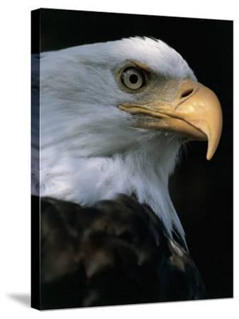 Close-Up of a Bald Eagle, Alaska, Usa (Haliaeetus Leucocephalus)-M^ Santini-Stretched Canvas Print