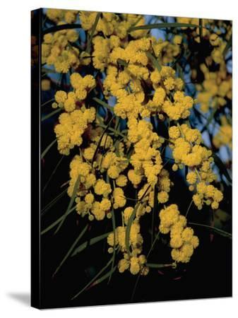 Close-Up of Flowers on Silver Wattle Tree (Acacia Dealbata)-R^ Carnovalini-Stretched Canvas Print