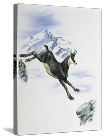 Side Profile of a Male Chamois Jumping on Rocks (Rupicapra Rupicapra)--Stretched Canvas Print