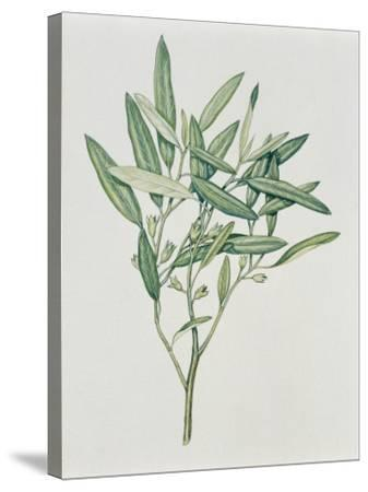 Close-Up of an Oleaster Plant--Stretched Canvas Print