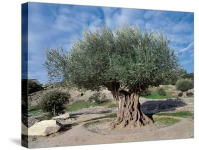 Olive Tree in the Forest (Olea Europaea)-C^ Sappa-Stretched Canvas Print