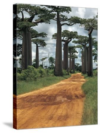 Baobab Trees Along a Dirt Road, Morondava, Madagascar (Adansonia Madagascariensis)--Stretched Canvas Print