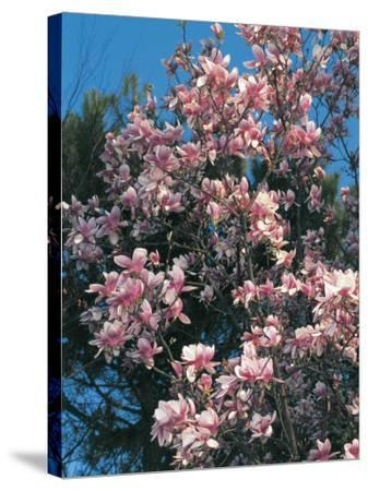 Low Angle View of Branches of a Saucer Magnolia Tree in Blossom (Magnolia Soulangiana)-S^ Montanari-Stretched Canvas Print