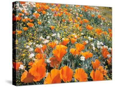 Detail of Field of California Poppy, Cream Cup and Goldfield Flowers-Jeff Foott-Stretched Canvas Print