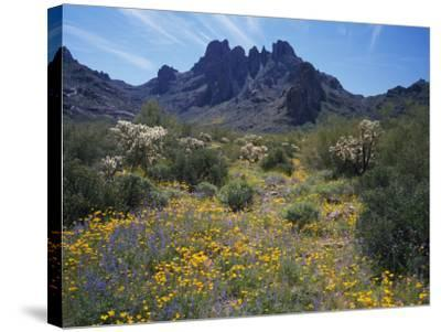 Usa, Arizona, Organ Pipe Cactus National Monument, Wildflowers on the Mountain-Jeff Foott-Stretched Canvas Print