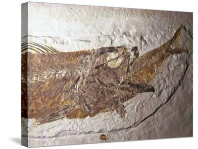 Detailed Fossil of a Mioplosus Swallowing a Small Fish-Jeff Foott-Stretched Canvas Print