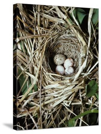 Brown-Headed Cowbird Egg in Nest of Macgillivaray's Warbler-Jeff Foott-Stretched Canvas Print