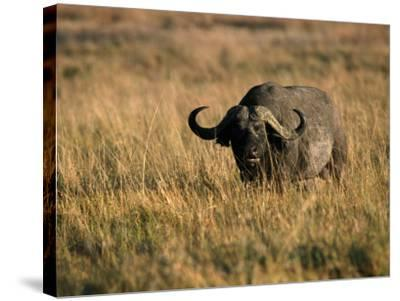 African Buffalo-Jeff Foott-Stretched Canvas Print