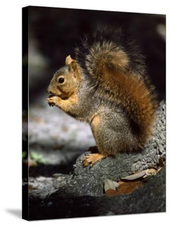 Fox Squirrel Stands on a Rock-Jeff Foott-Stretched Canvas Print