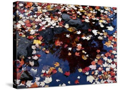 Usa, Maine, Maple Leaves-Jeff Foott-Stretched Canvas Print