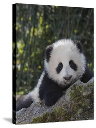 China, Sichuan Province, Wolong, 5-Month-Old Panda Cub in the Forest-Keren Su-Stretched Canvas Print