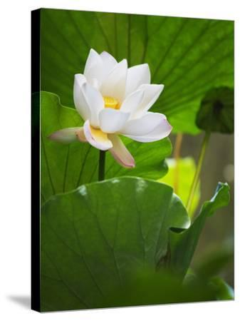 China, Sichuan Province, Lotus Flower in the Pond-Keren Su-Stretched Canvas Print