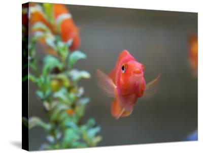 China, Gold Fish in the Tank-Keren Su-Stretched Canvas Print