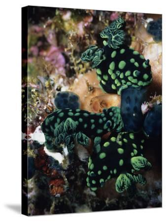 Spotted Branches Growing Atop Multi-Colored Coral Heads in Ocean Bunaken Island--Stretched Canvas Print
