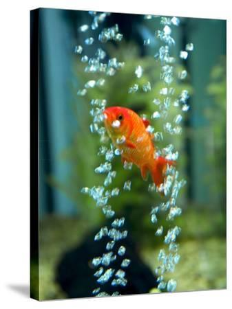 A Goldfish and Air Bubbles--Stretched Canvas Print