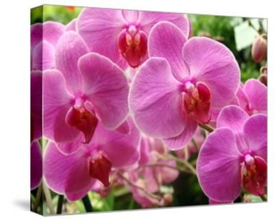 A Orchids I-Ricki Mountain-Stretched Canvas Print