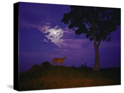 A Young Cheetah Prowls by Moonlight in the Okavango Delta-Chris Johns-Stretched Canvas Print