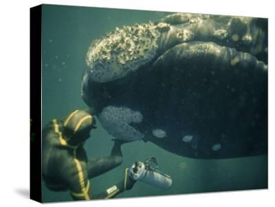 A Movie Photographer Keeps His Camera Out of the Way of a Right Whale-Bill Curtsinger-Stretched Canvas Print