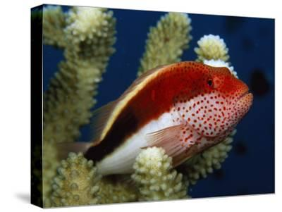 A Blackside Hawkfish Waits Among Coral Branches for Passing Prey-Tim Laman-Stretched Canvas Print