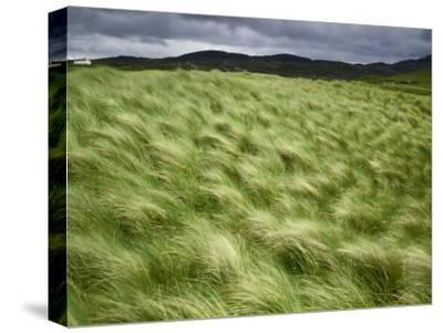 Marram Beach Grass Blowing on the Coast of the Isle of Lewis-Jim Richardson-Stretched Canvas Print