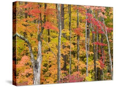 Autumn Leaves, White Mountains-Gareth McCormack-Stretched Canvas Print