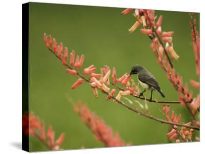 Immature Beautiful Sunbird (Cinnyris Pulchella) Feeding from Aloe-Ariadne Van Zandbergen-Stretched Canvas Print