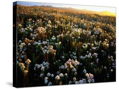 Wildflowers on West Coast-Rob Blakers-Stretched Canvas Print