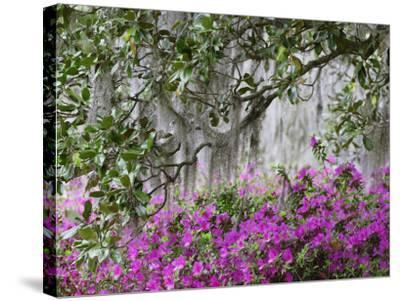 Azaleas and Live Oak Trees Draped in Spanish Moss, Middleton Place Plantation, South Carolina, USA-Adam Jones-Stretched Canvas Print