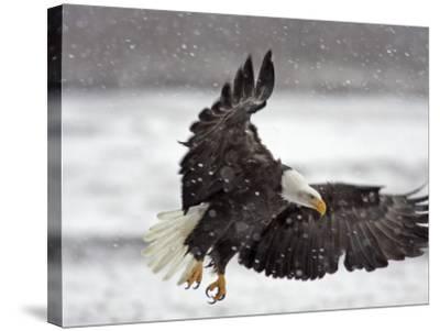 Bald Eagle Flies in Snowstorm, Chilkat Bald Eagle Preserve, Alaska, USA-Cathy & Gordon Illg-Stretched Canvas Print